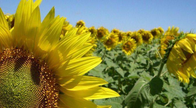 ASAGIR propuso medidas que estimulen la siembra de girasol