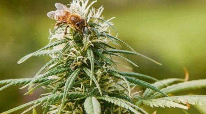Las flores del cannabis son especialmente atractivas para las abejas melíferas