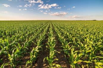Cepo al maíz: una sensación de película repetida que pone en tensión a la cadena