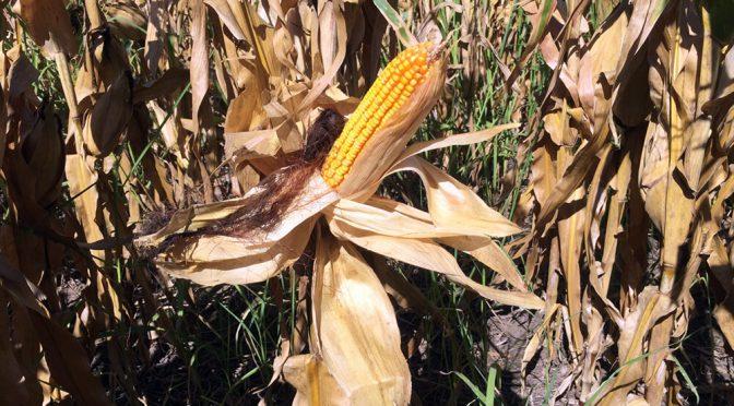 Nuevas subas en Chicago para los granos y el maíz se arrima a los 300 u$s/tn