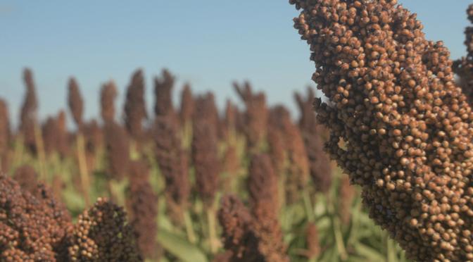 Sorgo granífero: alternativas innovadoras para lograr un alto potencial